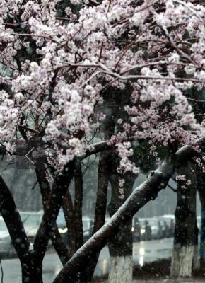 长春春雪压枝头美翻了